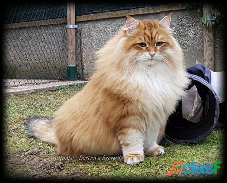 Gattini siberiani cuccioli di gatto siberiano ipoallergenico