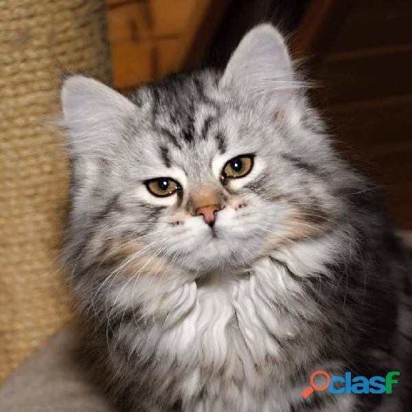 Gattini siberiani cuccioli di gatto siberiano ipoallergenico 6