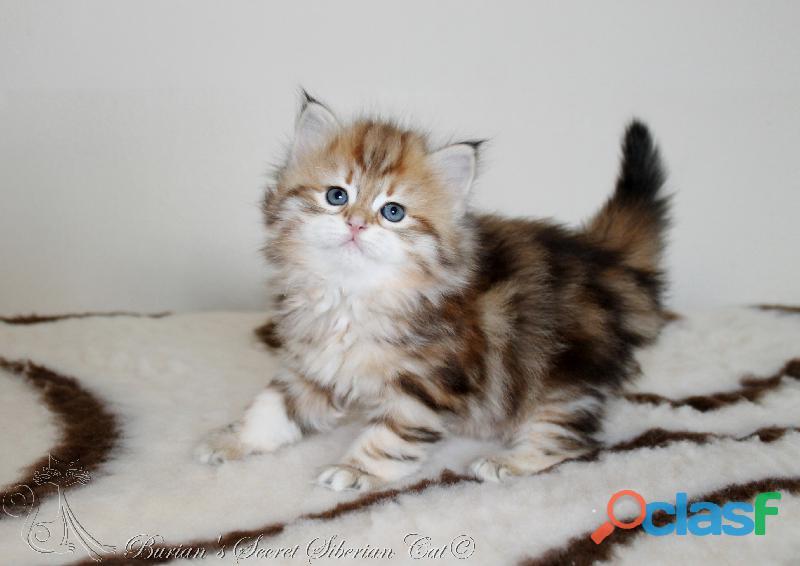 Gattini siberiani cuccioli di gatto siberiano ipoallergenico 4
