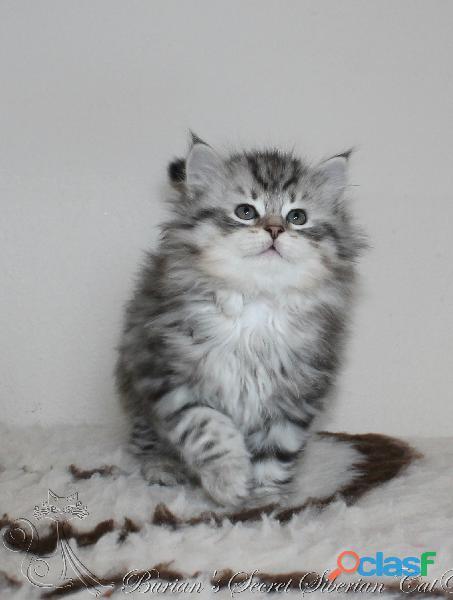 Gattini siberiani cuccioli di gatto siberiano ipoallergenico 3