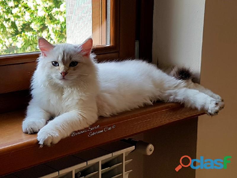 Gattini siberiani cuccioli di gatto siberiano ipoallergenico 2