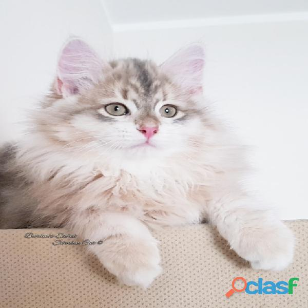 Gattini siberiani cuccioli di gatto siberiano ipoallergenico 7