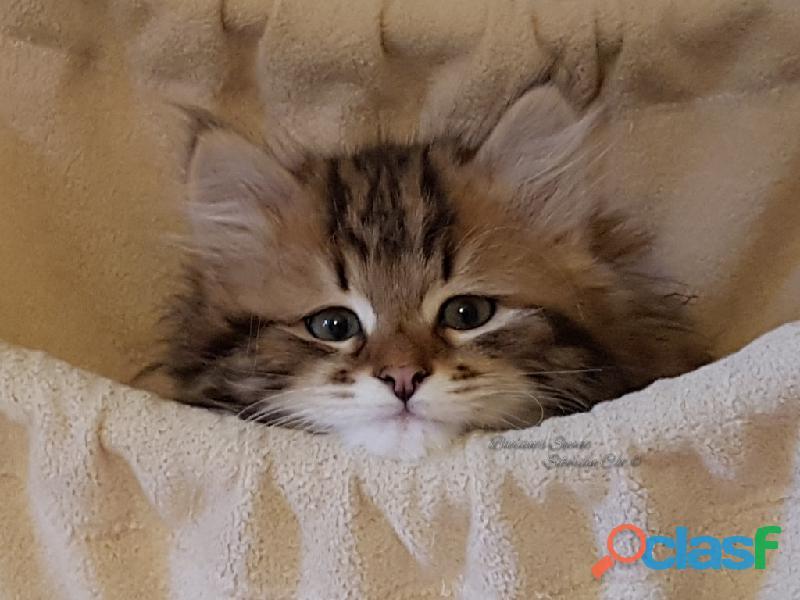 Gattini siberiani cuccioli di gatto siberiano ipoallergenico 8