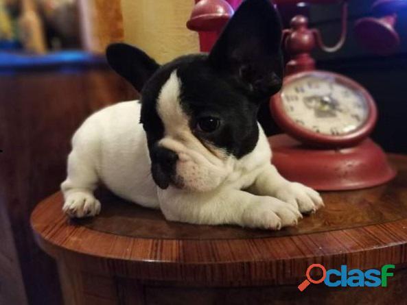 Qualità cuccioli di bulldog francese disponibili