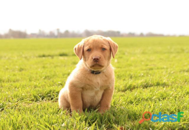 Cuccioli di labrador retriever molto belli e adorabili per l'adozione