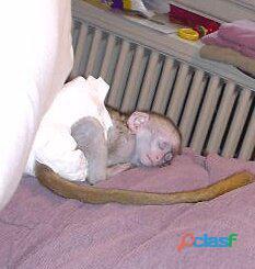 La splendida casa ha addestrato scimmie cappuccine per l'adozione