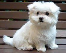 Bei cuccioli maltesi per l'adozione