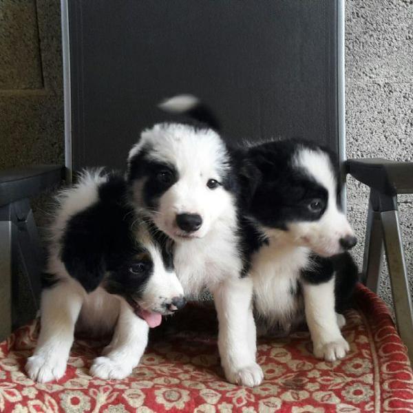 Bella cuccioli di border collie per regalo