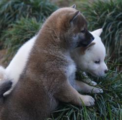 Bella cucciolo di shiba inu