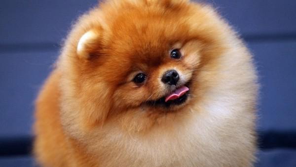 Cerco cucciolo di volpino di pomerania spitz tedesco nano