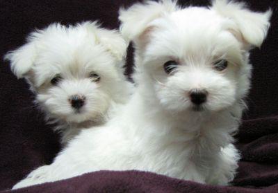 Cerco Cuccioli Di Maltese Toy In Regalo.Cuccioli Maltese Toy Animali Gennaio Clasf