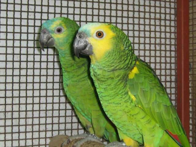 Coppia riproduttori pappagalli