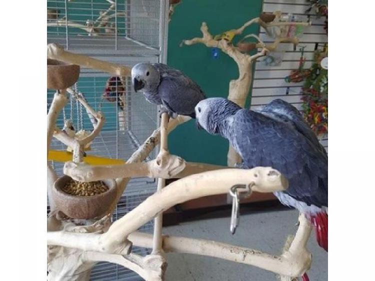 Coppie di pappagalli grigi africani in vendita