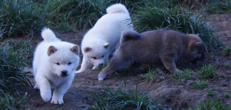 Cuccioli di shiba inu con pedigree enci