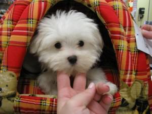 Disponibili cuccioli maltesi belli e sani