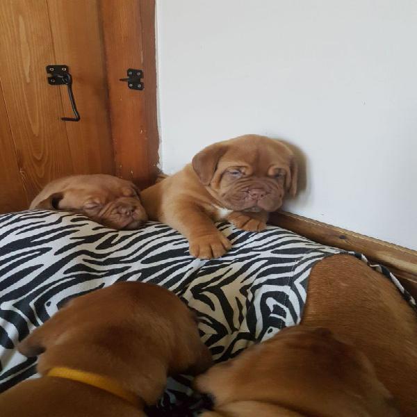 Gratis dogue de bordeaux cuccioli da adozione