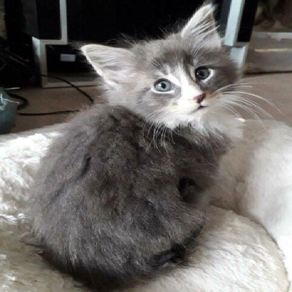 Maine coon gattini 2 mesi gia testati fiv, felv, e pkd