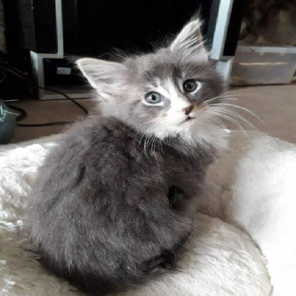 Maine coon gattini 70gg gia testati fiv, felv, e pkd
