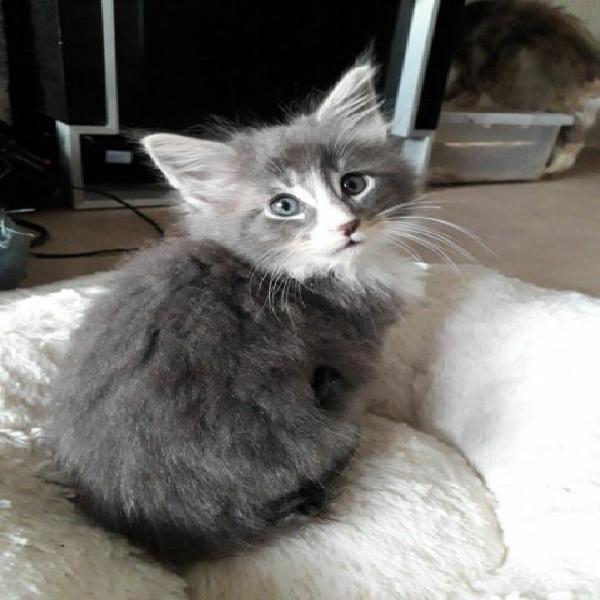 Maine coon gattini testati fiv, felv, e pkd (adozione