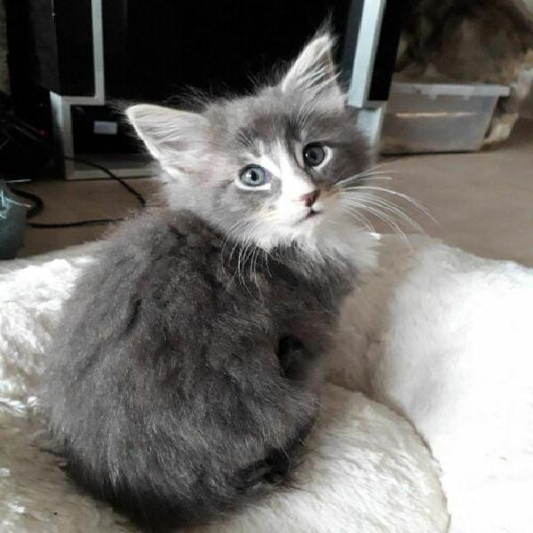 Maine coon gattini gia testati fiv, felv, e pkd (adozione