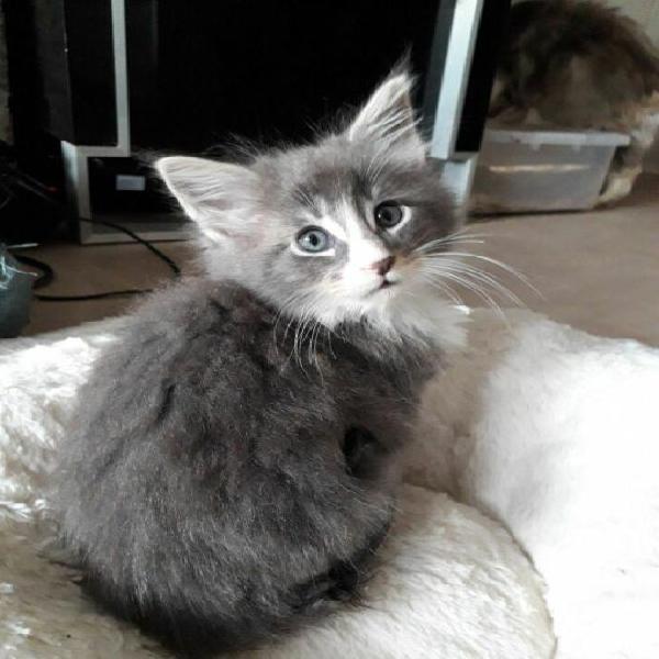 Maine coon di gattini testati fiv, felv, e pkd (adozione