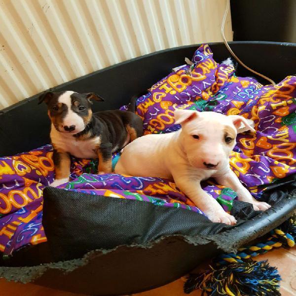 Maschio e femmina bull terrier cuccioli per il regalo di