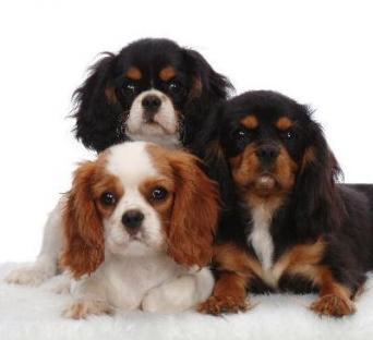 Meravigliosi cuccioli di cavalier king charles