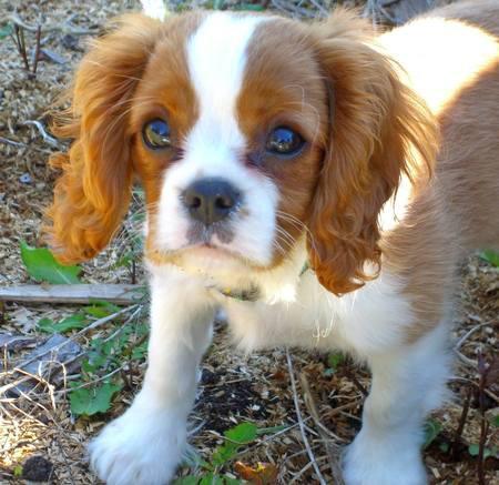 Offro in adozione cucciolata di regalo cavalier king charles
