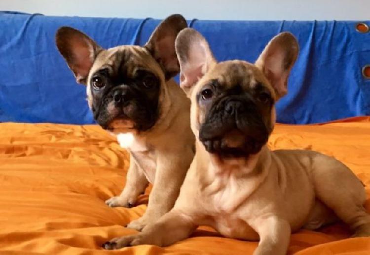 Regalo bulldog francese blu bianco femmina e maschio