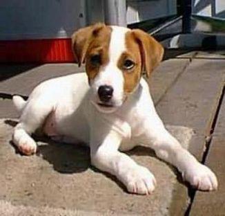 Regalo jack russel cuccioli (pedigree) adorabile maschio e