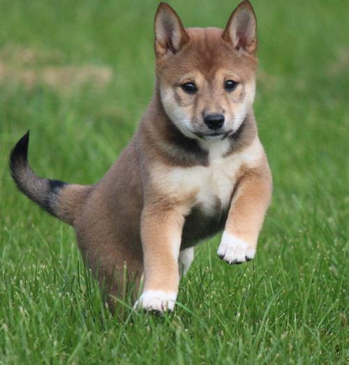 Regalo due cuccioli di shiba inu per l'adozione disponibili