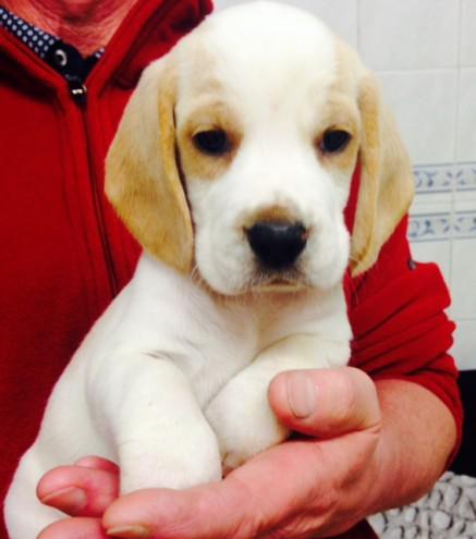 Beagle Regalo Animali Dicembre Clasf