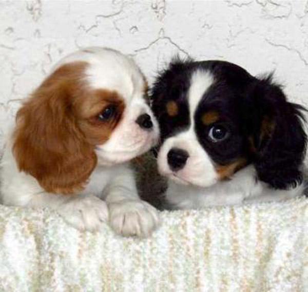 Regalo cuccioli di cavalier king charles spaniel disponibili