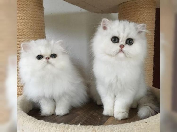 Cerco Un Gattino Piccolo In Regalo.Regalo Gattino Persiano Animali Gennaio Clasf