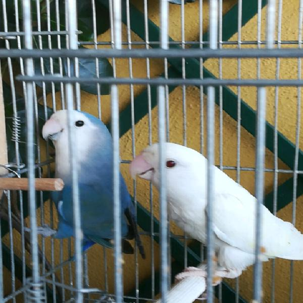 Coppia albina inseparabili