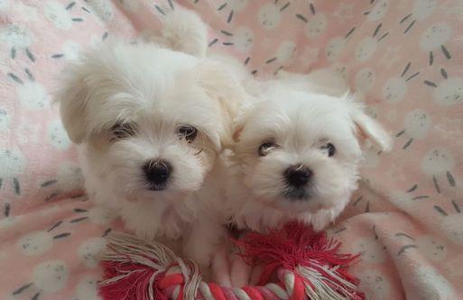 Maltese cuccioli di due mesi cane maltese
