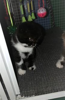 Scottish fold gattini bianchi e neri pronti per luglio gatto