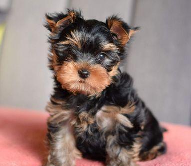 Yorkshire cuccioli cane yorkshire terrier