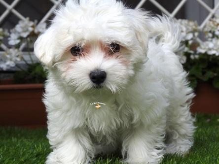 Maltesi cuccioli mini