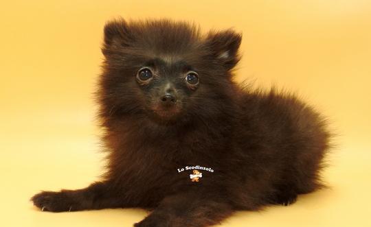 Volpini spitz nani tedeschi cuccioli manto nero faloppio
