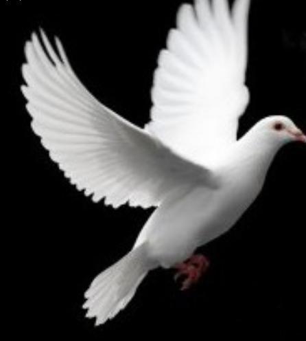Colombi piccioni bianchi