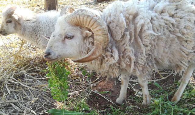 Pecore d'ouessant
