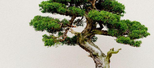 Alla scoperta del bonsai