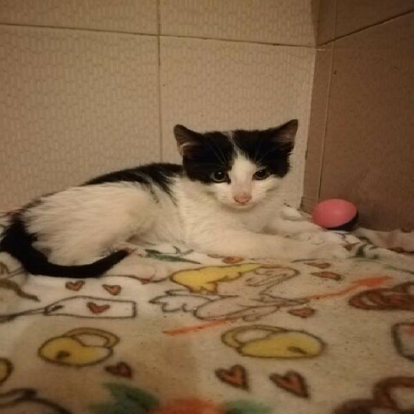 Dodo, gattino bianco e nero, in adozione