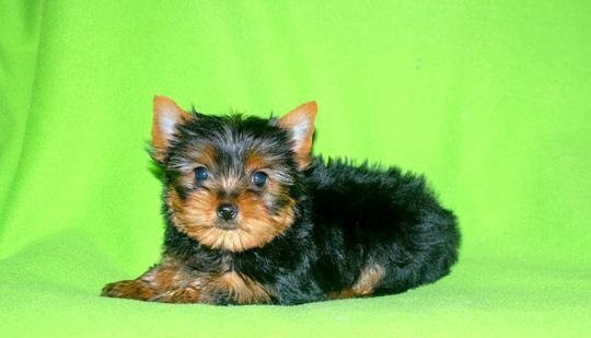 Yorkshire, cucciolo di taglia piccola Cane Yorkshire Terrier