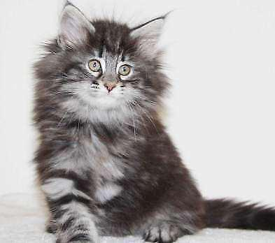 Maine coon gatti socializzati con passaporto europeo e