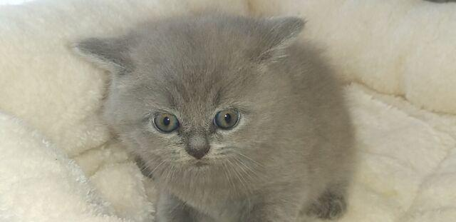British shorthair cuccioli