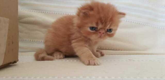 Gattini razza persiana