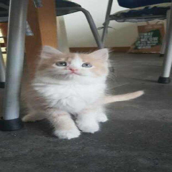 Meraviglioso gattino a pelo lungo
