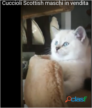 Cerco Un Gattino Piccolo In Regalo.Regalo Gatto Razza Animali Gennaio Clasf